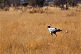 Etosha Secretary Bird