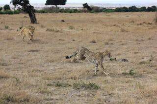 Lion Chasing A Cheetah