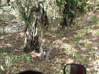The Leopard Walked Right In Front Of Our Vehicle