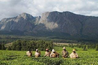 11  Thyolo Tea Estates Infront Of Mt Mulanje