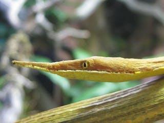 Langaha Madagascariensis