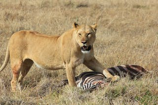 Lion In Mara North