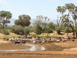Samburu Cattle