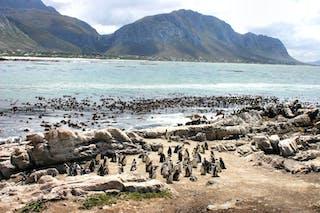 Stony Point Penguin Colony At Bettys Bay