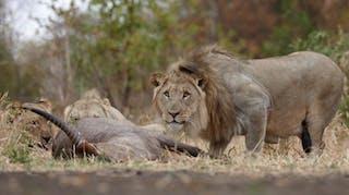 6  Lions Majete