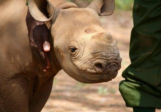 A Baby Rhino And His Carer
