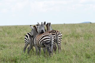 A Dazzle Of Zebra