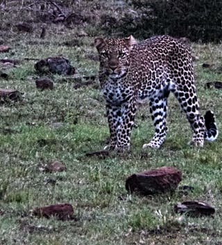 A Leopard At Naboisho