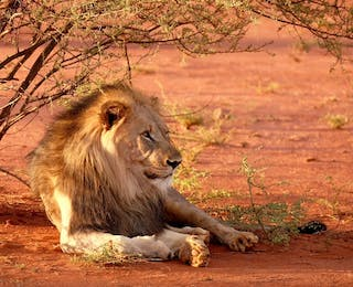 A Lion In Zimbabwe