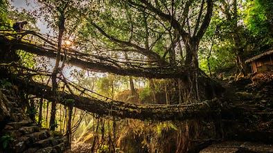A Living Root Bridge