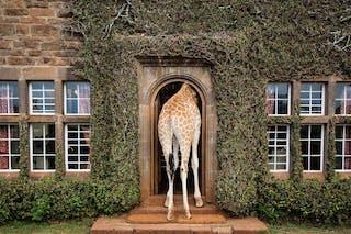 A Visitor At Giraffe Manor