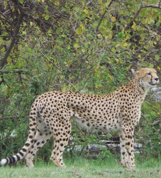 A Watchful Cheetah