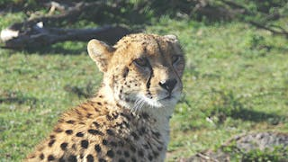 A Young Cheetah