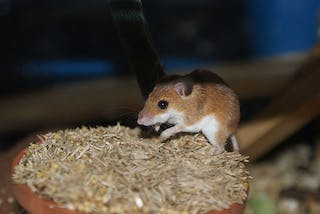 Affican Pygmy Mouse