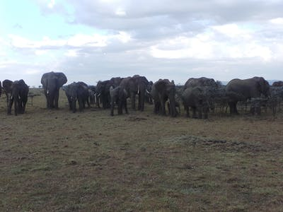 An Elephant Herd On The Plains Of Naboisho
