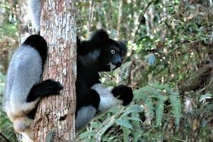Analamazaotra  Indri  Indri 1  Toky  Andriamora