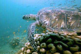 Azura Quilalea Private Island Turtle Swimming Over Reef