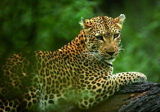Azura Selous Game Reserve Leopard In A Tree