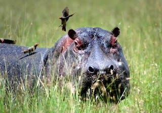 Azura Selous Hippo
