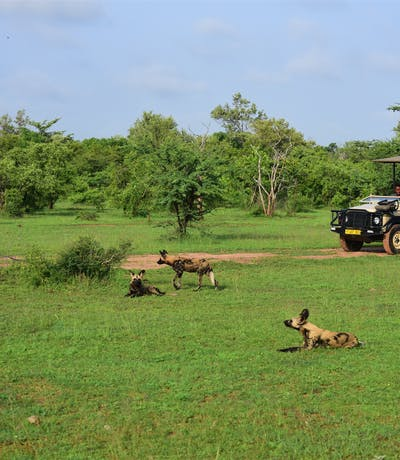 Azura  Selous Wild Dogs On Game Drive