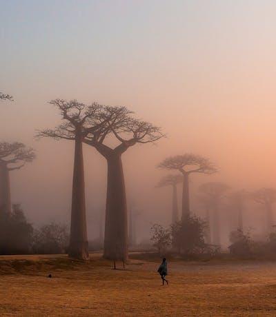 Baobab Alley Mada Copy