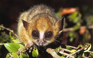 Berthes Mouse Lemur - Gerald Cubitt