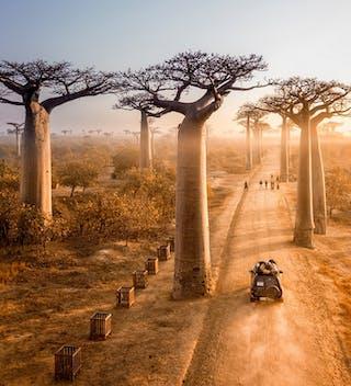Baobab Avenue In Madagascar Copy