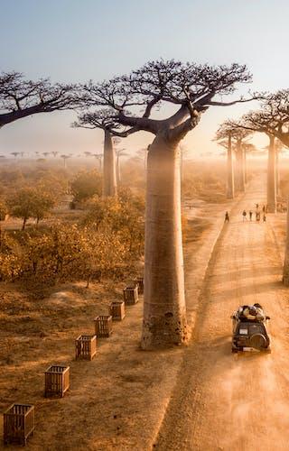 Baobab Avenue In Madagascar