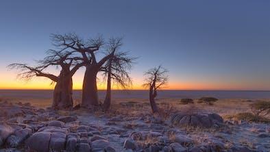 Baobabs At Sunrise On Kubu Island In Makgadikgadi Pans