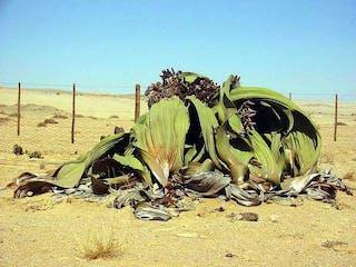 Biggest Known Welwitschia - Thoas Schoch