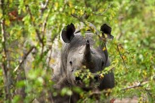 Black Rhino Cr Frank Weitzer 7