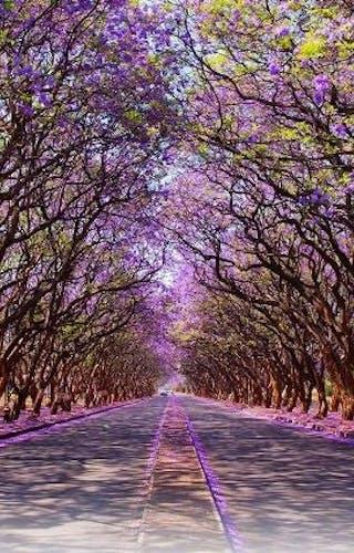 Blooming Jacaranda Trees Lining Milton Avenue In Harare