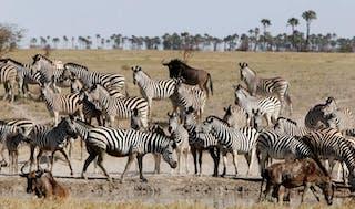 Botswana Makgadikgadi San Camp Wildlife Zebra Migration