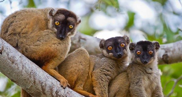 Brown Lemurs In Kirindy