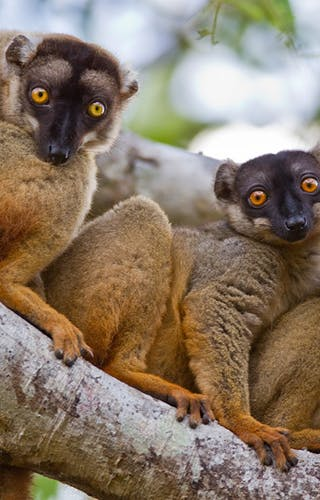 Brown Lemurs In Kirindy