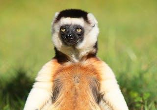 Buddha Lemur