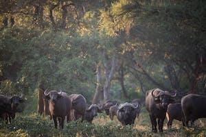 Buffalo In Pafuri
