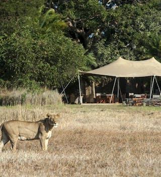 Busanga Bush Camp Lion