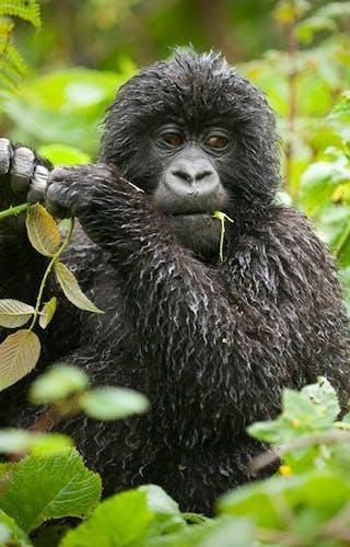 Bwindi Lodge Gorilla
