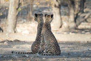 Cheetah Pair At Ongava Etosha