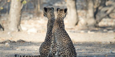 Cheetah Pair At Ongava Etosha