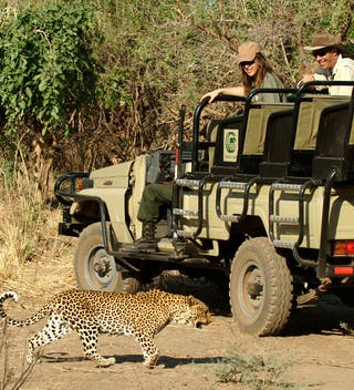 Chiawa Camp Leopard Inches Away From The 4X4