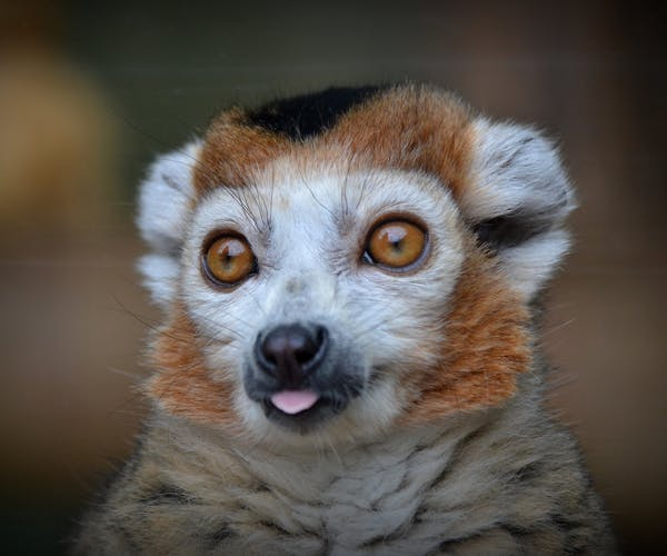 Crowned Lemur - Kanto