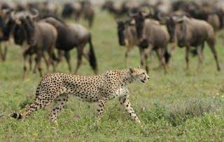 Calving Season Serengeti Main 5
