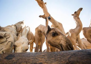 Camels At A Well