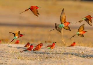 Carmine Bee Eaters In Flight