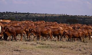 Cattle El Karama
