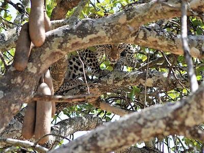 Chada Katavi Leopard In Tree  - Craig Kaufman