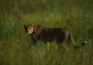 Cheetah Cr Naude Heunis 14