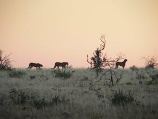 Cheetahs In Damaraland - Margo